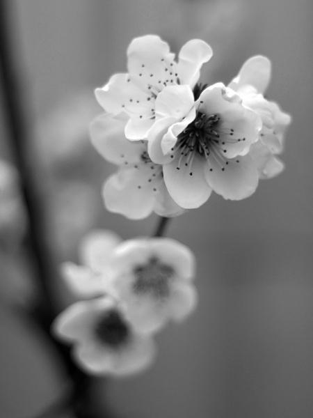 blossom by azurak