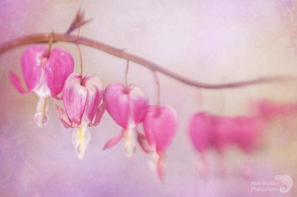 Bleeding hearts by Angi_Wallace