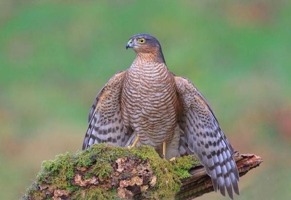 Sparrow Hawk by HenB