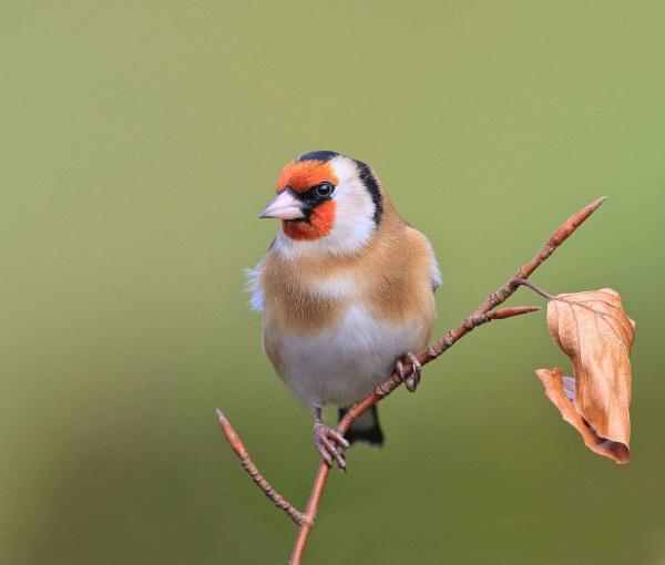 Goldfinch Garden by HenB