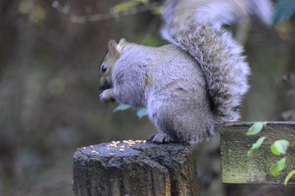 Squirrel by peterthowe