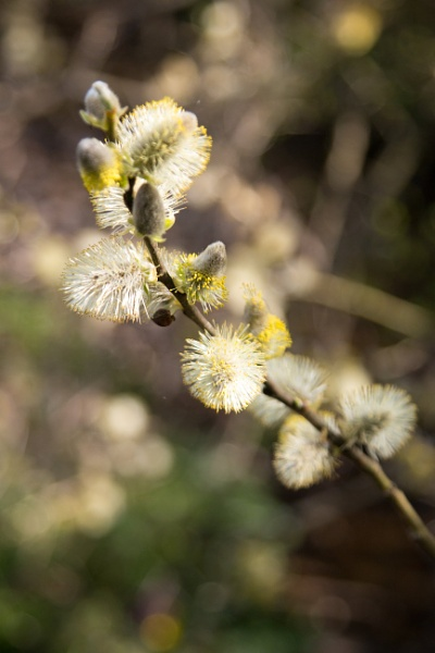 Goat Willow ? by 41sPH0T0S