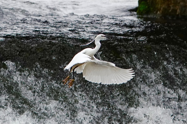 Egret takes flight..... by cheddar-caveman