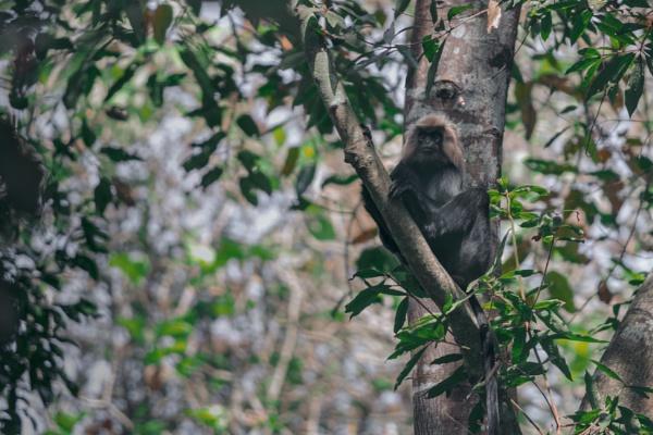 Black Langur by bobbyl