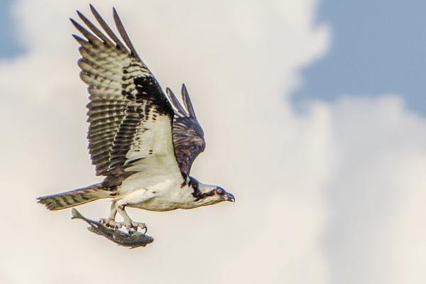 Osprey with fish by jbsaladino