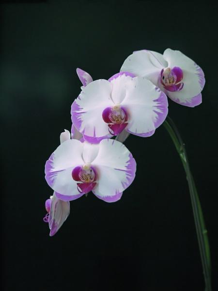 Dendrobium Orchid On Dark Green Background by StevenBest