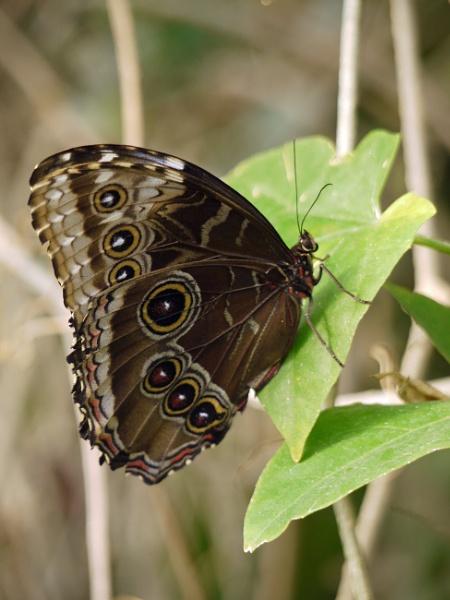 Morpho Peleides Butterfly by StevenBest