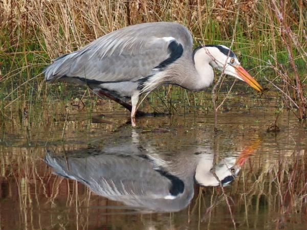 Heron Reflection by JanOByrne