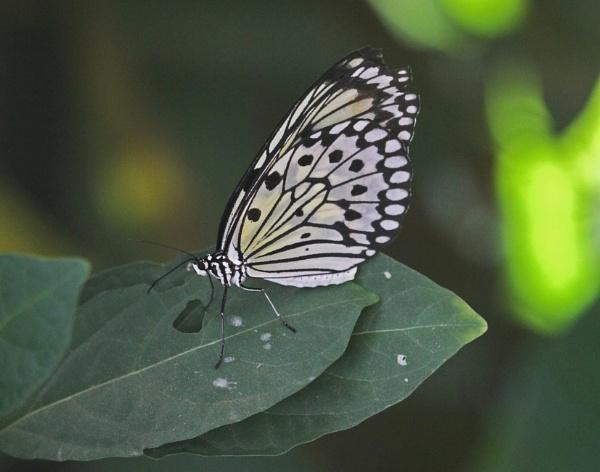 A Tree Nymph (Idea leuconae) aka Paper Kite aka Rice Paper (Indigenous to S.E. Asia and Northern Australia) by gconant
