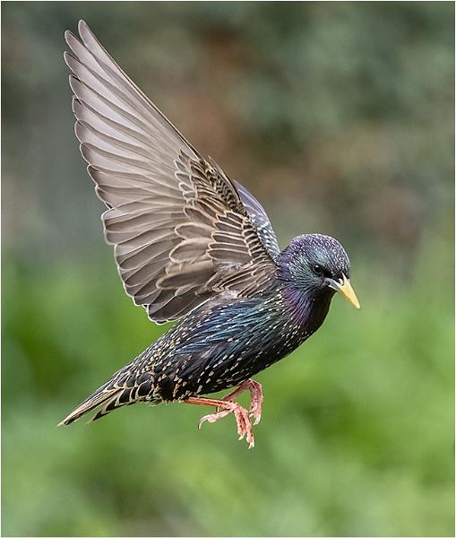 Starling in Flight by rogerdoger