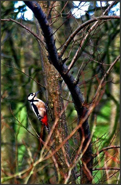 Woodpecker by JuBarney