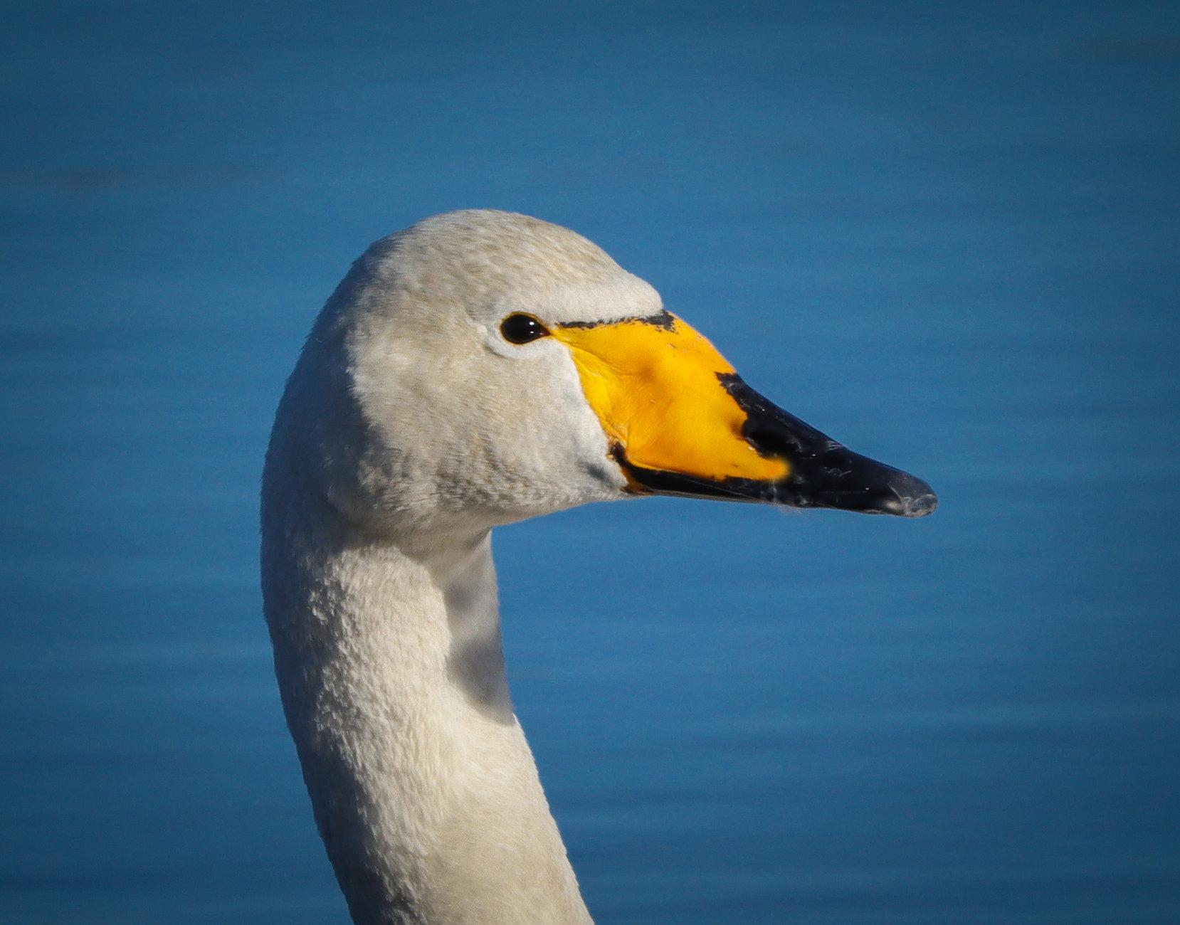 Swan pics / 2.