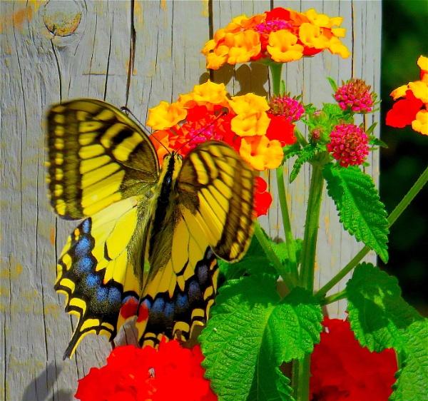 Swallowtail by ddolfelin