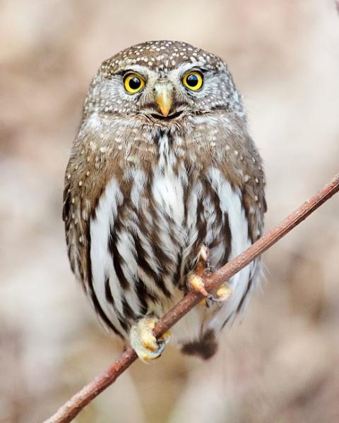 Northern Pygmy Owl by RobDem