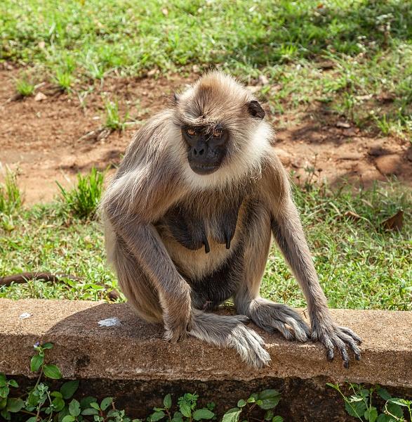 A Gray Langur in Sri Lanka by pdunstan_Greymoon