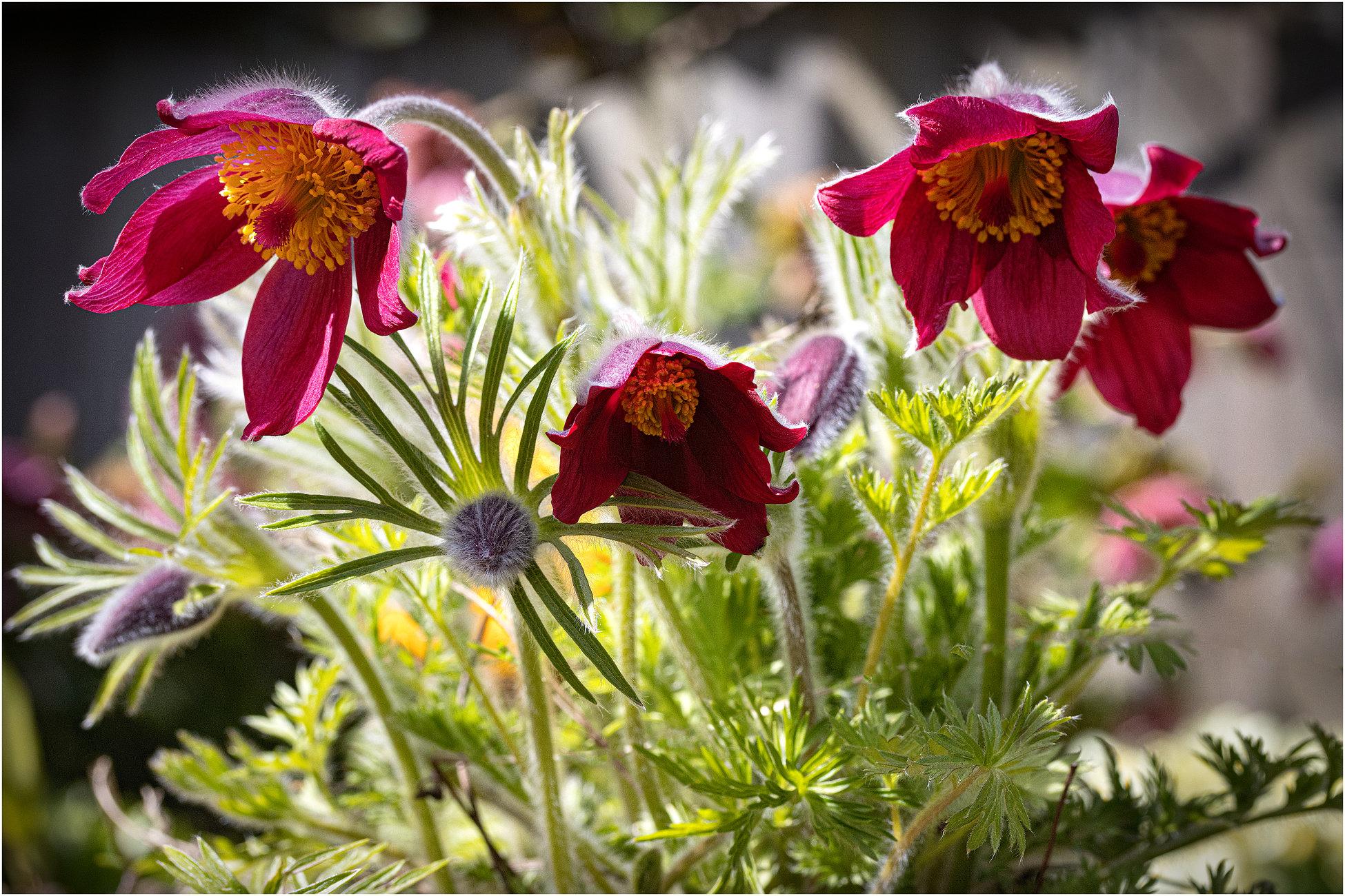Pulsatilla Red Pasque Flower