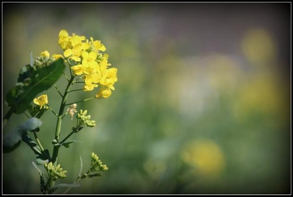 Yellow by gunner44