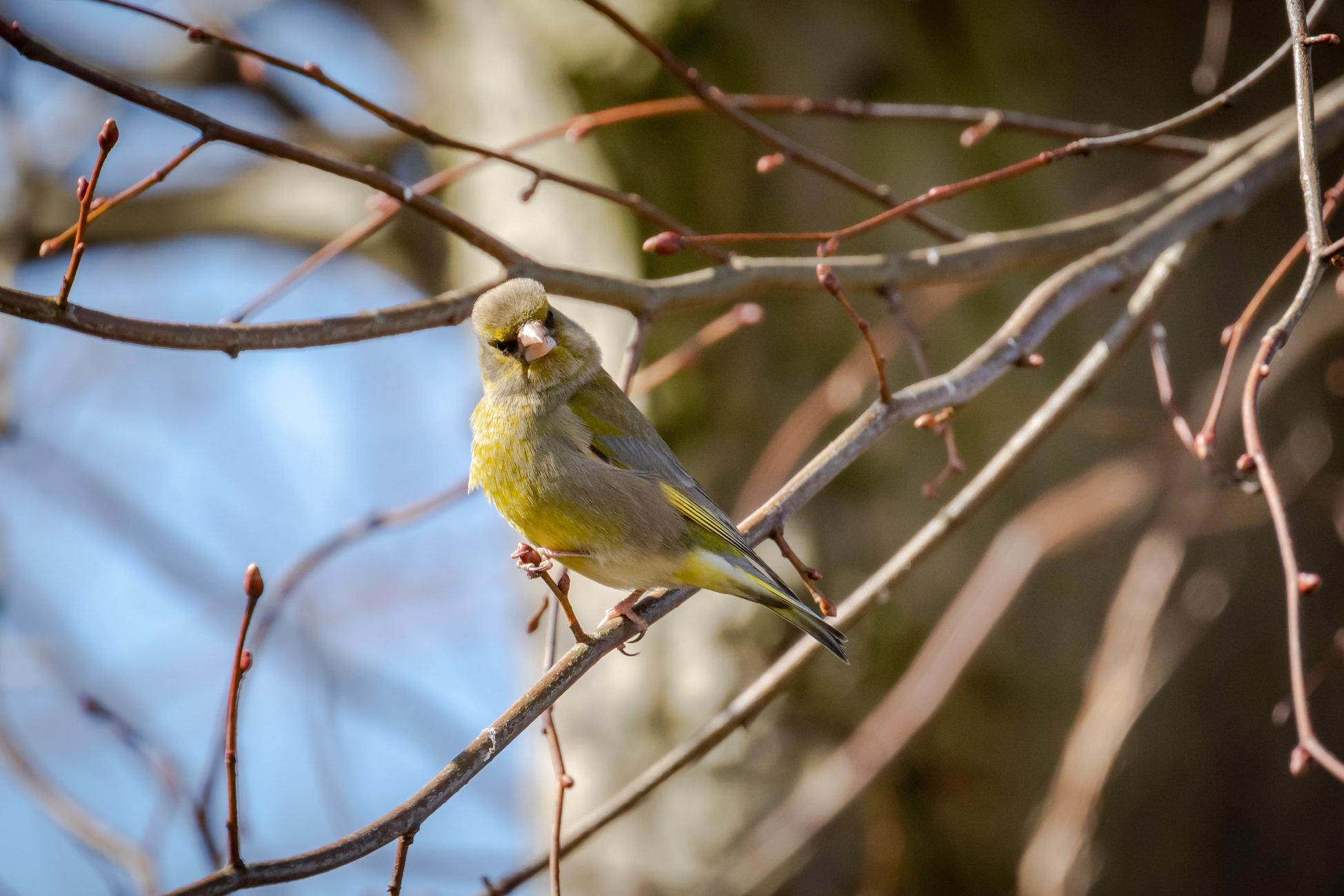Sassy greenfinch
