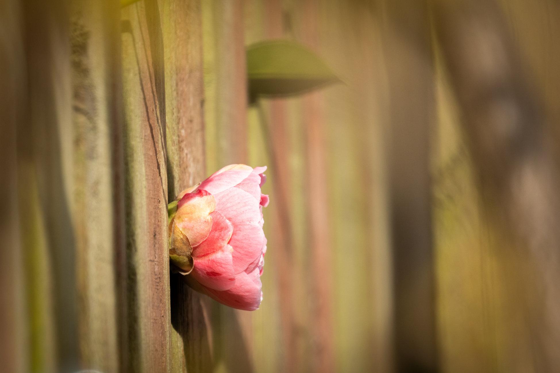 Camellia through the fence