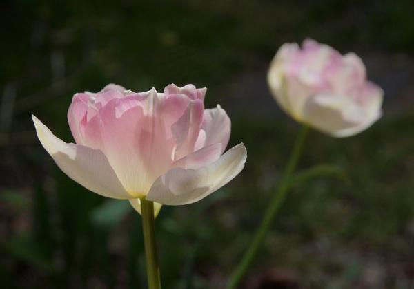 Tulip by Steveo28