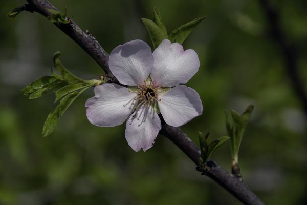 Almond Blossom by jimobee