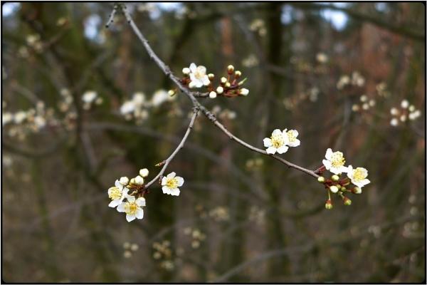 sakura in march by FabioKeiner