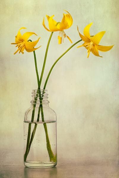 Erythronium Tuolumnense by flowerpower59