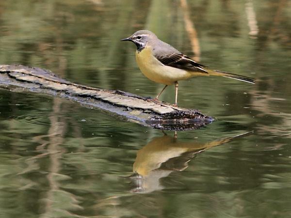 Grey Wagtail--Motacilla cinerea. by bobpaige1