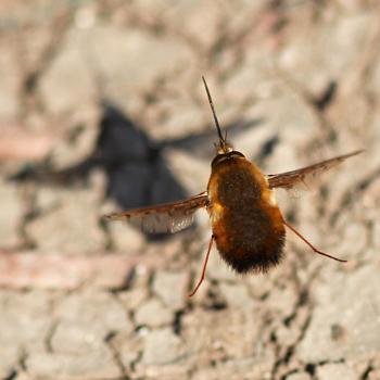 BEE FLY--Saturday shadows