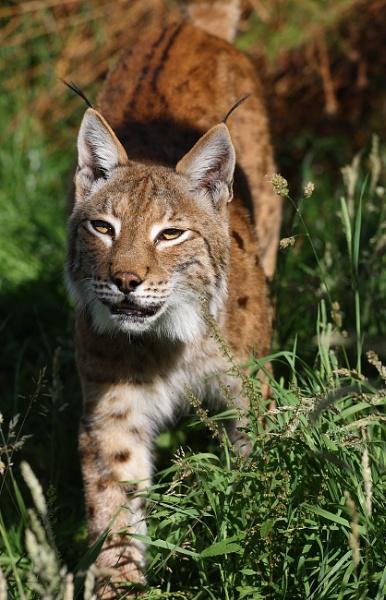 Lynx by rickie