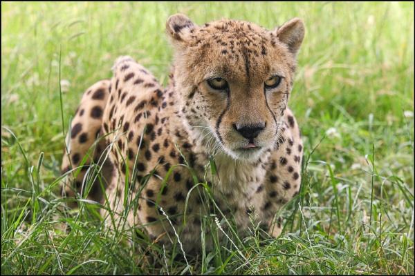 Cheetah by rickie