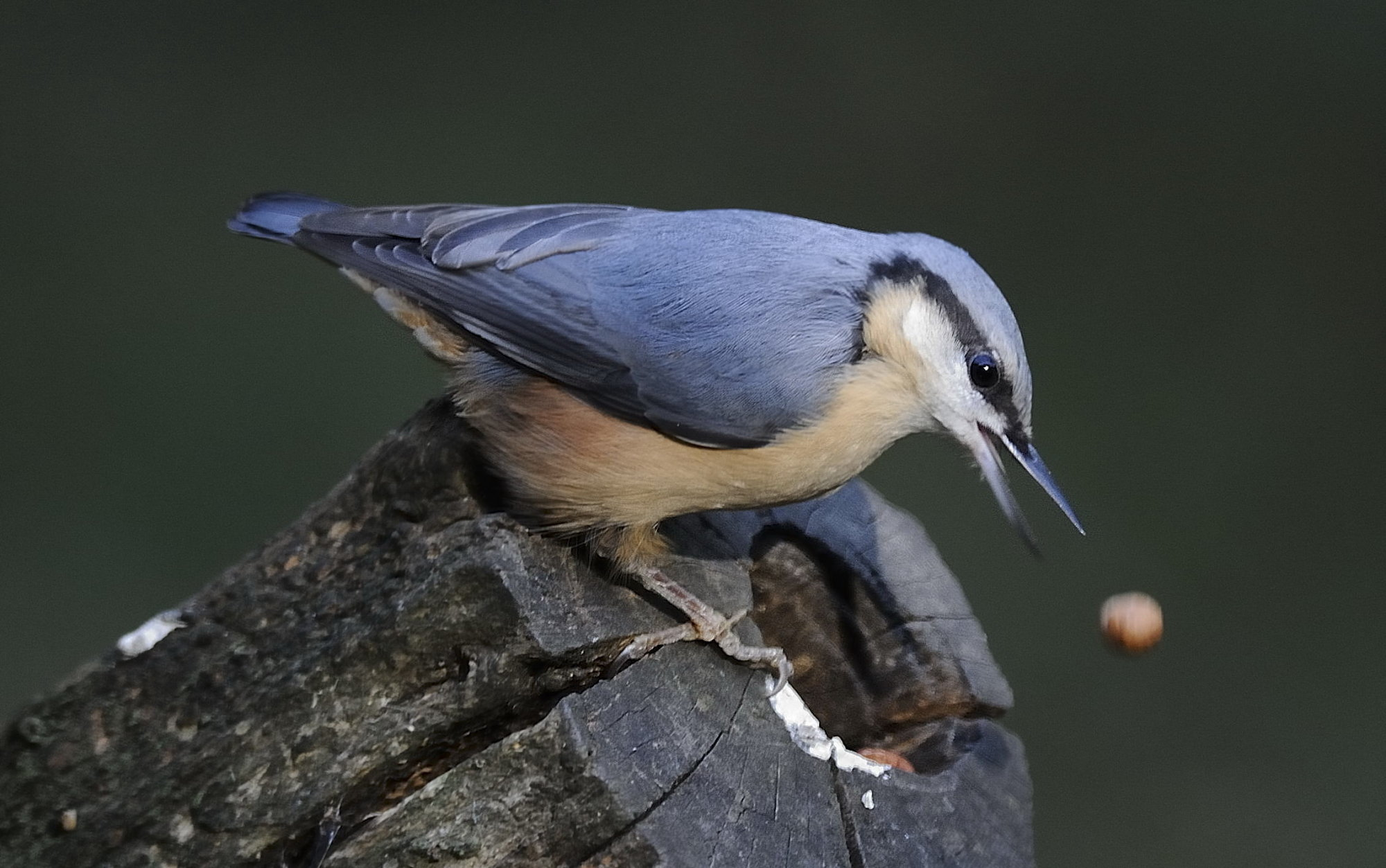 Nuthatch  the one that got away