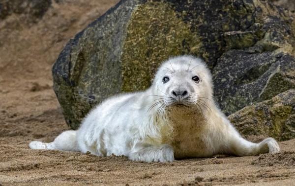 Grey Seal Cub by HelenMarie