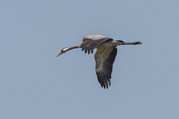 Low overfly of Common crane 1 by robert61
