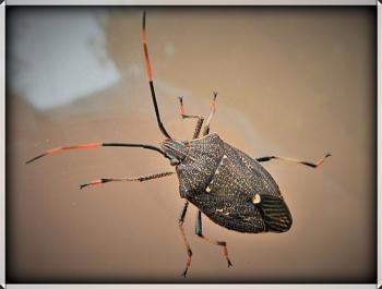 Sheild Bug on Glass