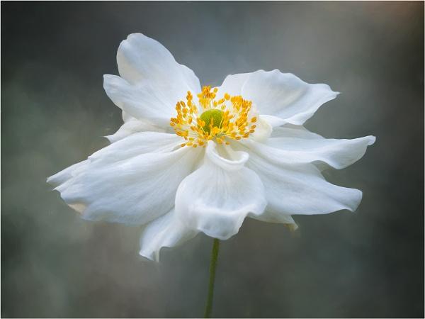 Anemone by Leedslass1