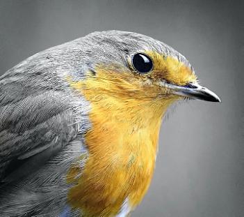 """The Robin""."