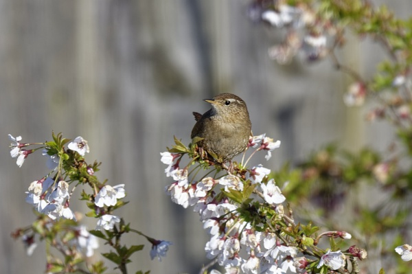 Wren in Prunus. by simmo73