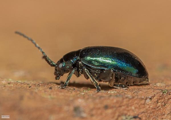 Green Dock Beetle by LighthousePhotography