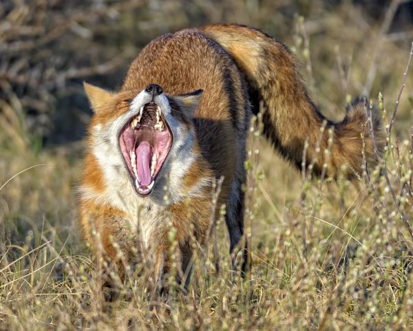 yawning fox by gerti62
