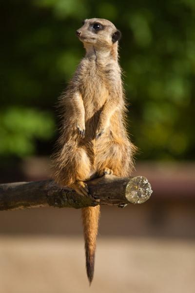 Meerkat by PGibbings