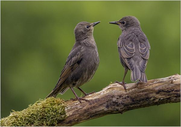 The Starling Boys by AnnetteK