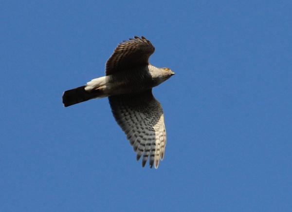 Sparowhawk in flight by billd1000