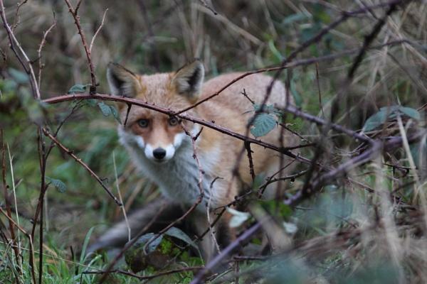 Beautiful fox by billd1000