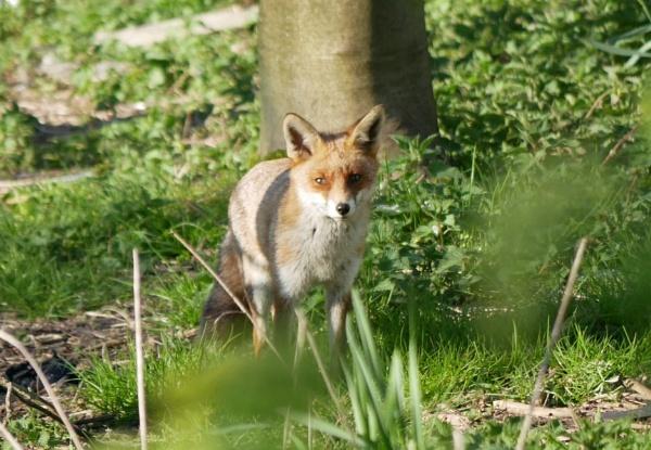 fox by billd1000