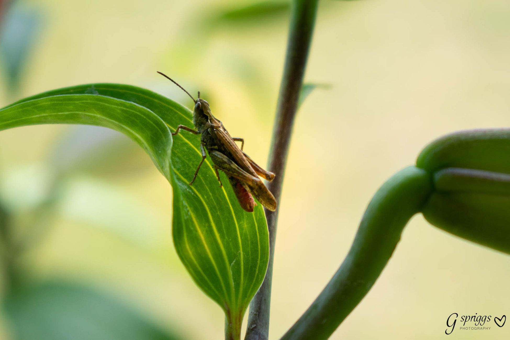 Grasshopper on my lilies