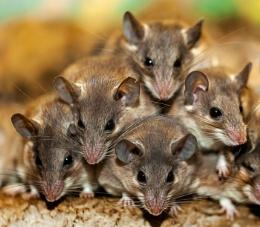Spiky mice