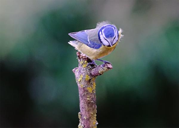 Inquisitive Blue Tit by photographerjoe