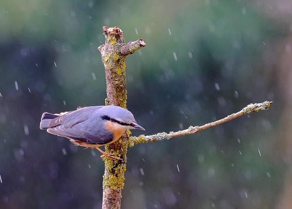 Nuthatch in the rain by photographerjoe