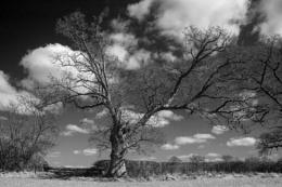 Y it's another Oak